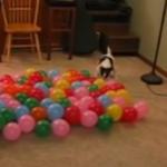Hund og balloner